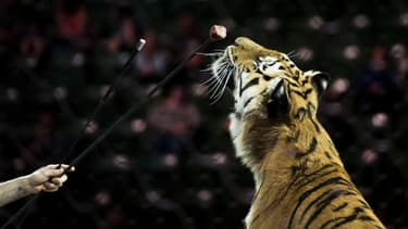 Un tigre entraîné avant une représentation du cirque Ringling Bros. and Barnum & Bailey Circus, le 14 avril 2017 à Fairfax aux Etats-Unis. (Photo d'illustration)