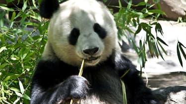 La fabrication de papier à partir du bambou nécessite d'en éliminer le fructose afin d'extraire les fibres: une étape qui intervient naturellement dans l'appareil digestif du panda