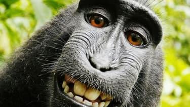 Le selfie du singe Naruto