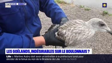 Les goélands, indésirables dans le Boulonnais?