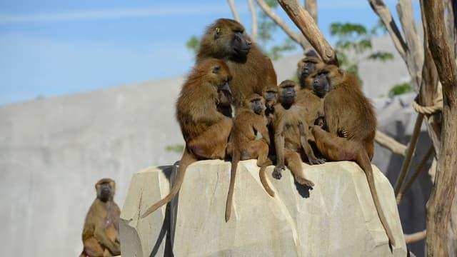 Les babouins de Guinée du zoo de Vincennes se sont échappés de leur enclos