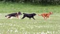 Des chiens courant -photo d'illustration).