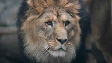 Un lion d'Afrique au zoo d'Ekaterinbourg, en Russie, le 16 juin 2018. (Photo d'illustration)