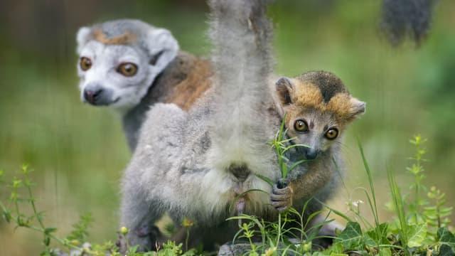 La naissance des lémuriens était très attendue. (Photo d'illustration)