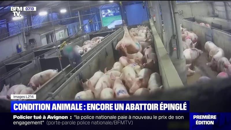Maltraitance animale: L214 diffuse de nouvelles images choc d'un abattoir du Finistère