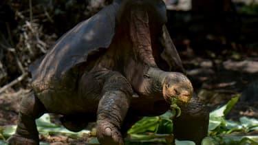 La tortue géante Diego, de la sous-espèce Chelonoidis hoodensis de l'île d'Espanola, dans un centre de reproduction en captivité au parc national des Galapagos, le 27 février 2019
