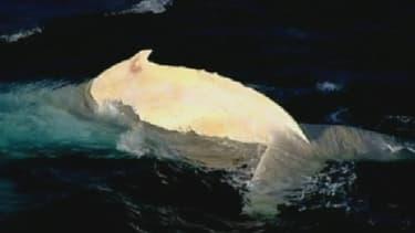 Migaloo a été observé pour la première fois en 1991.