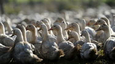 Le Sud-Ouest recensait l'immense majorité des cas de grippe aviaire dans ses élevages