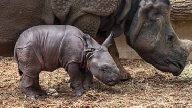Le bébé rhinocéros et sa mère, au zoo de Beauval.