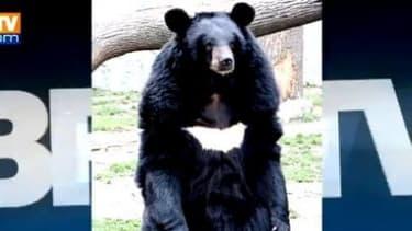 """L'ourse Viviane, échappée depuis deux semaines de la réserve animalière de Sigean (Aude), a été retrouvée """"en pleine forme""""."""
