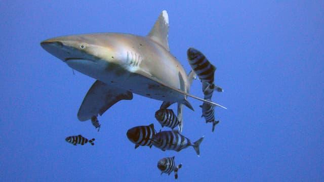 Des requins à pointe blanche