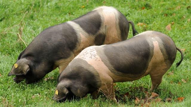 Deux cochons dans un champ (illustration)