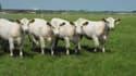Ces quatre vaches se ressemblent beaucoup. Et pour cause, elles ne sont qu'une.