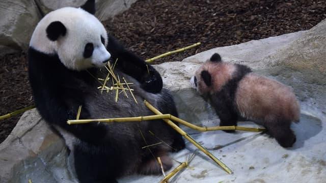 Peu après sa naissance, Yuan Meng arborait un pelage rosé