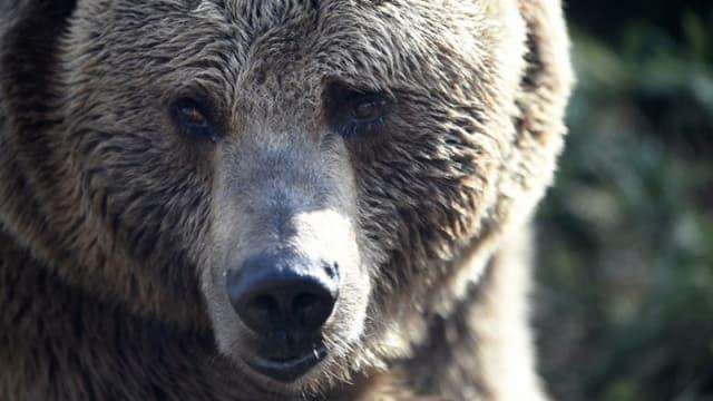 Portrait d'un ours brun (image d'illustration) - - JEAN CHRISTOPHE VERHAEGEN / AFP