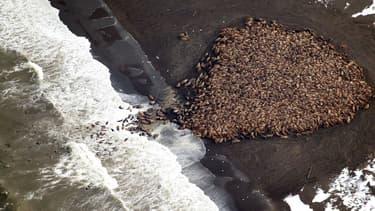 L'an dernier 35.000 morses s'étaient déjà échoués sur cette même plage, un mois plus tard