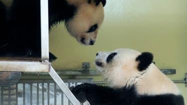 La femelle panda Huan Huan et le mâle Huan Zi se rapprochent avant leur accouplement au zoo de Beauval, à Saint Aignan, le 20 mars 2021