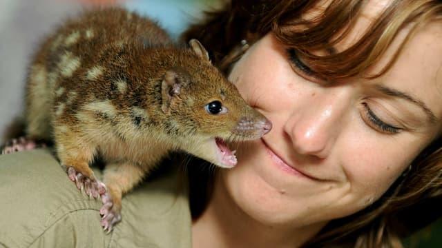 Des scientifiques dressent actuellement un marsupial d'Australie, le dasyure, pour lui apprendre à éviter de manger les crapauds buffles toxiques.