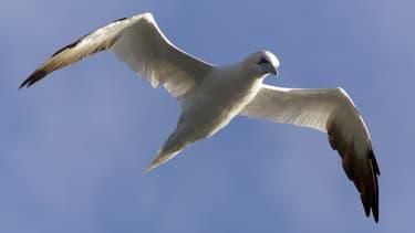Un Fou de Bassan vole au dessus de la mer