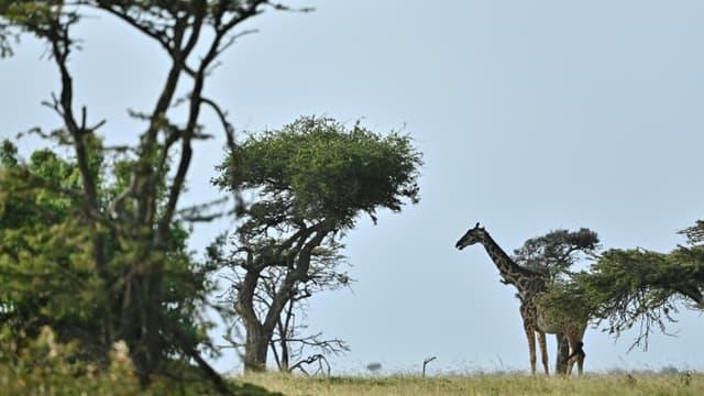 Une girafe dans la réserve nationale du Masaï Mara, au Kenya, le 23 juin 2020