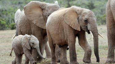 Une tête d'éléphants d'Afrique marche dans le parc national Addo Elephant, en Afrique du Sud, le 15 novembre 2009.