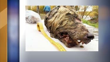 La tête de loup découverte en Sibérie.