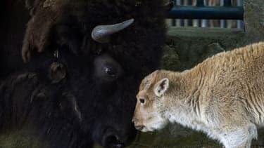 La bisonne blanche Dusanka, deux jours après sa naissance au zoo de Belgrade, le 30 mai 2018