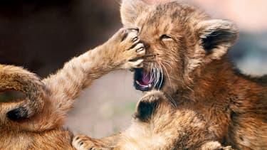 Les lionceaux ont été retrouvés au domicile des voleurs (illustration).
