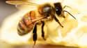 Une abeille - Image d'illustration