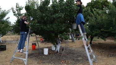 Les jeunes de moins de 18 ans ne pourront pas participer aux récoltes s'ils doivent grimper, cet été.