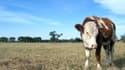 Dans la Sarthe, depuis le début de l'année, le déficit d'eau atteint 30% et les exploitants peinent à trouver de la nourriture pour leurs bêtes.