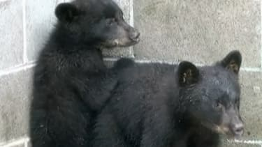 Les deux oursons ont été accueillis dans un refuge pour animaux sauvages.