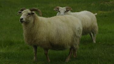Des moutons (photo d'illustration)