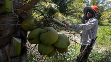 En 2015, les 1,9 milliard de noix cueillies au Brésil ont généré 2,7 millions de tonnes de résidus.