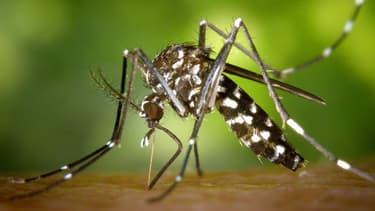 Un moustique pris en pleine action.
