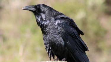 Un couple risque une contravention pour avoir libéré un corbeau pris au piège dans une cage.