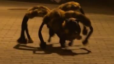 Chica, la chienne araignée qui sème la terreur dans les rues polonaises