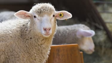 Un mouton à Ceyssat, le 1er avril 2020.