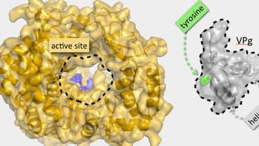 Représentation du norovirus responsable des gastro-entérites.