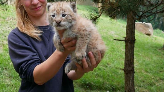 Le bébé lynx né dans le parc animalier des Pyrénées.