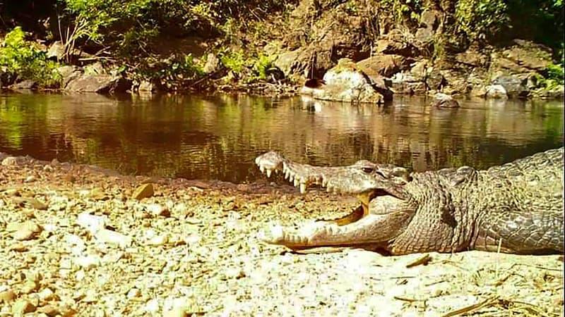 Un crocodile du Siam, en voie d'extinction, aperçu dans un parc de Thaïlande
