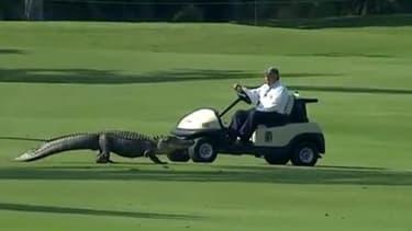 Un alligator sur le green