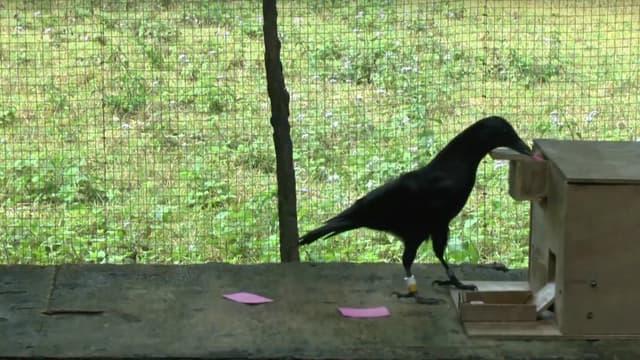 Un des corbeaux étudié par l'université d'Auckland découpe un grand papier en petits morceaux afin d'obtenir une récompense.