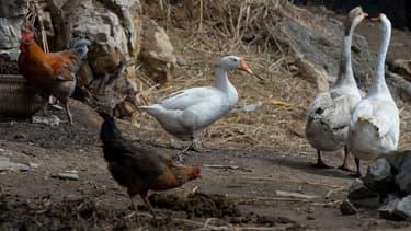 Grippe aviaire H5N1
