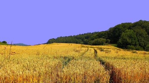 Les exportations de blé européen vers le Moyen-Orient et l'Afrique du Nord ont fortement augmenté en 2013.