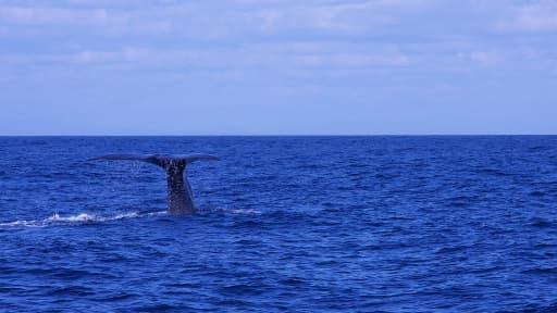 Une baleine de la taille d'un bus a assommé un surfer australien samedi.