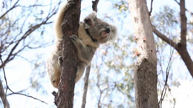 Un des koalas sauvés des incendies en Australie et relâchés dans la nature par des services vétérinaires locaux.