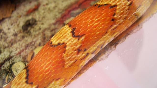 Un serpent des blés - Image d'illustration