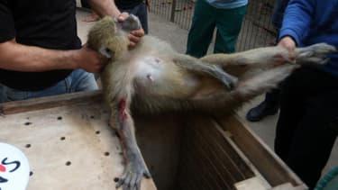 Un singe du zoo de Gaza