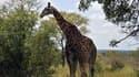 Une girafe dans un parc national en Afrique du Sud (photo d'illustration).